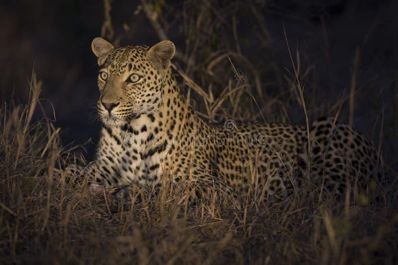 Leopard legen in der Dunkelheit nieder, um stillzustehen und sich zu entspannen lizenzfreie stockbilder