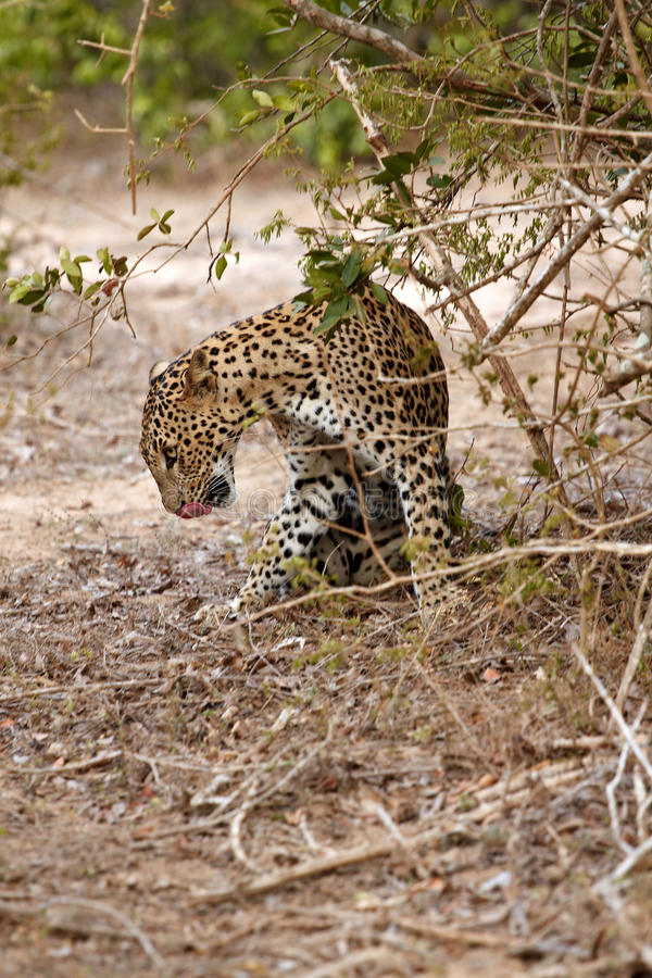 Leopard Lick Itself Stock Photos