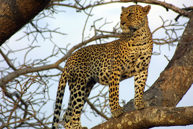 Download Leopard on the Lookout stock photo. Image of ngala, attraction - 369624