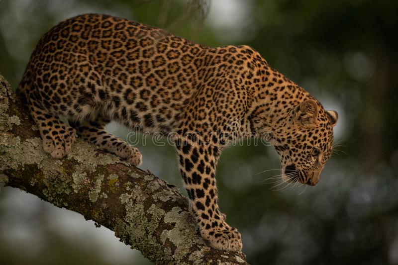 Leopard looks down while standing on branch stock photography