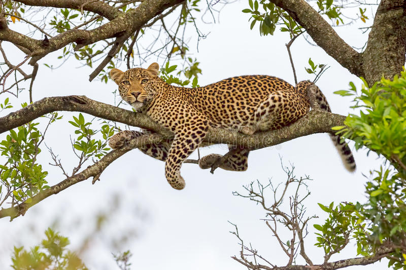 Leopard Lying On Branch. A Leopard, Panthera pardus, lying along the branch of a tree, high up in Olare Orok Conservancy, bordering Masai Mara. Night was falling royalty free stock photography