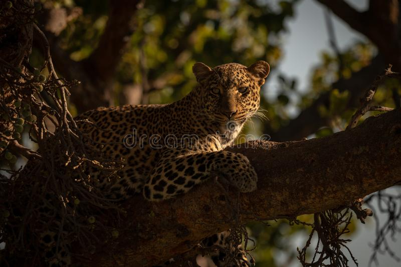 Leopard lying with catchlight in fig tree stock image