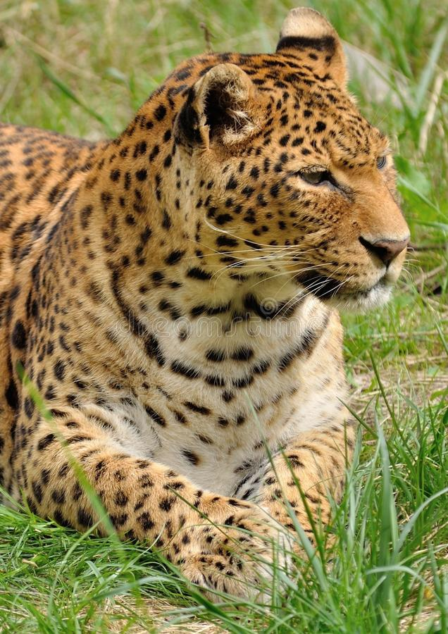 Leopard Lying In The Grass Free Public Domain Cc0 Image