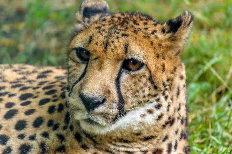 Leopard lying on the grass. Portrait of leopard lying on the grass under the tree royalty free stock photos