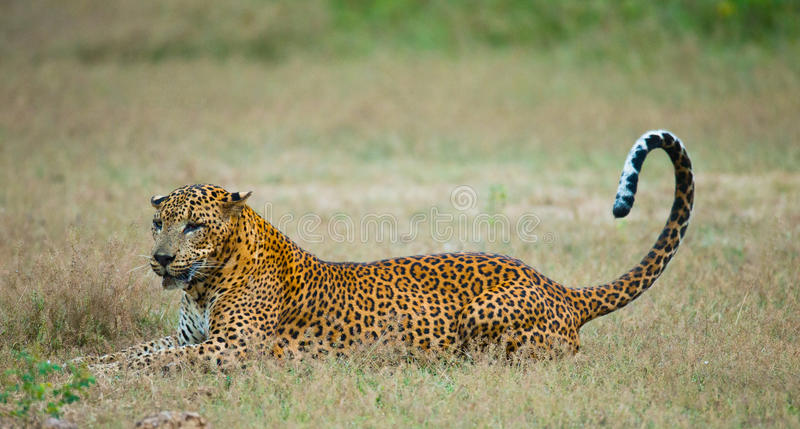 Leopard lying on the grass. Sri Lanka. An excellent illustration royalty free stock photos