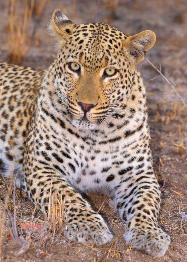 Leopard lying in savannah royalty free stock photo