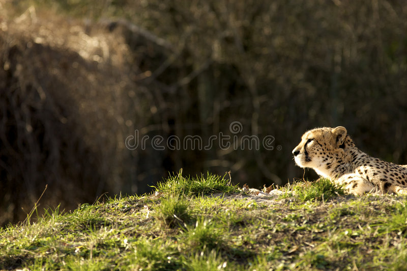 Download Leopard lying in the sun stock image. Image of travel - 4595307