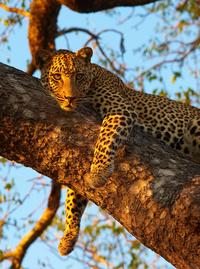 Leopard Lying On The Tree Royalty Free Stock Image