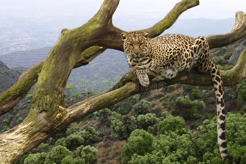 Leopard. A leopard lying in a tree royalty free stock photos