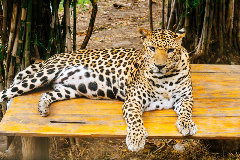 Leopard lying on wood. A leopard lying on wood stock photography