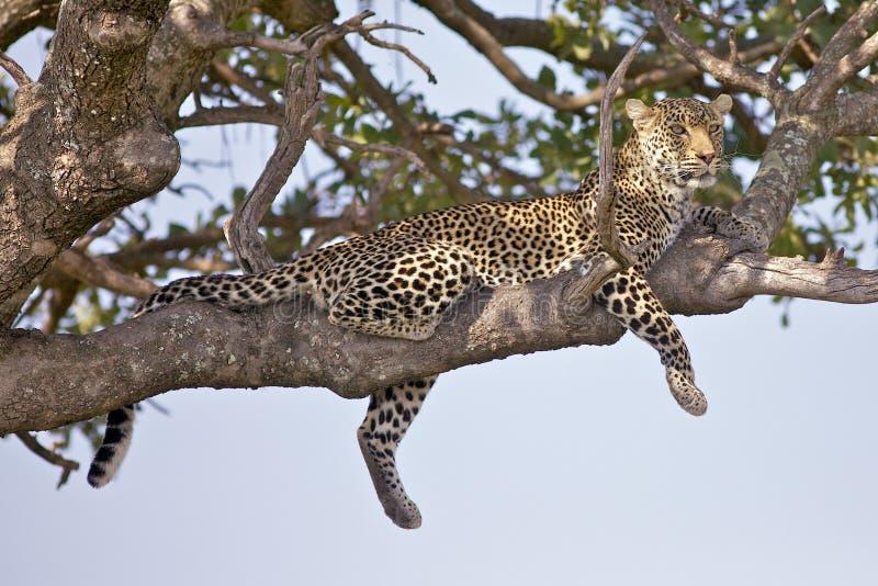 Leopard magic stock photography