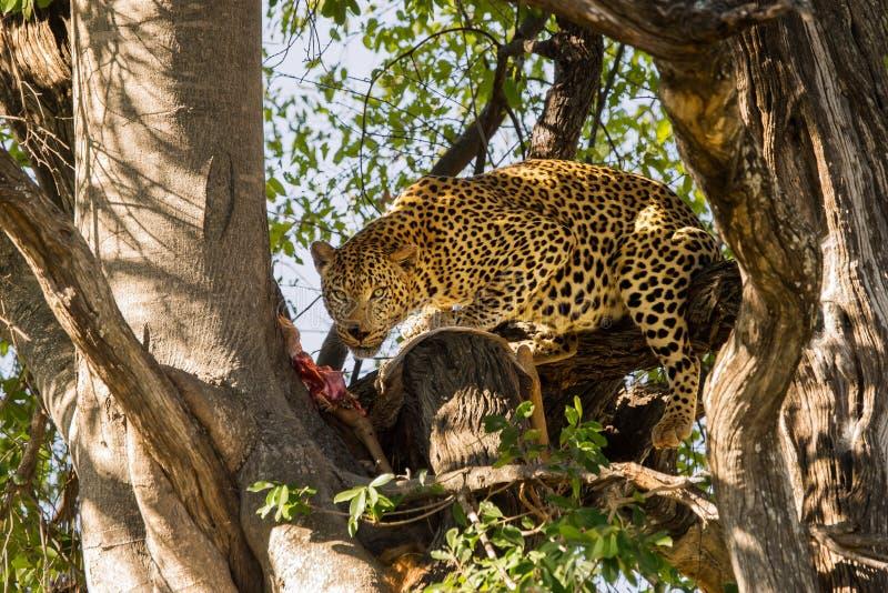 Leopard med dess rov i träd fotografering för bildbyråer