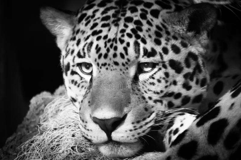 Leopard at the Milwaukee County Zoo. Leopard Big Cat Nature Zoo Black and White Spots Beautiful Fierce Eyes Meow Roar royalty free stock image