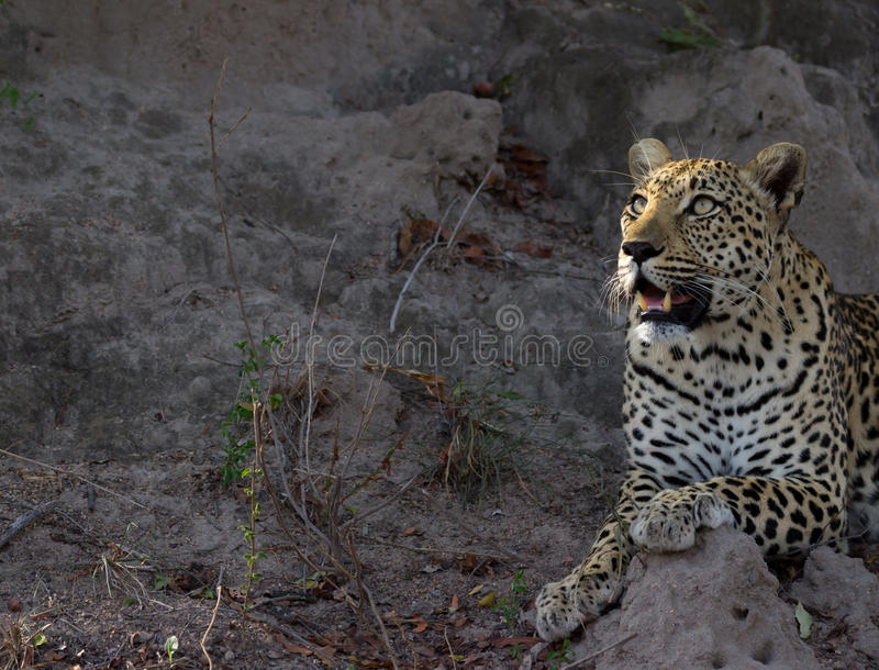 Leopard Morning Sight stock images