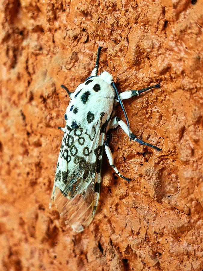 Leopard moth stock photos