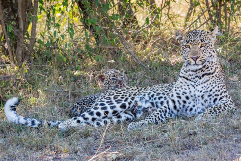 Leopard-Mutter mit Leoparden CUB stockfotos