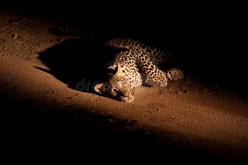 Leopard nachts stockfotografie
