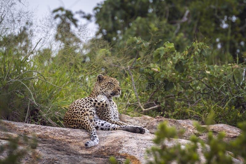 Leopard in Nationalpark Kruger, Südafrika lizenzfreie stockfotografie