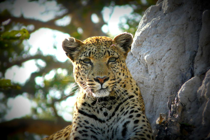 Lonely female leopard waits quiet over a hill looking for her pray in Pom-Pom Island private game reserve, Okavango delta stock photo