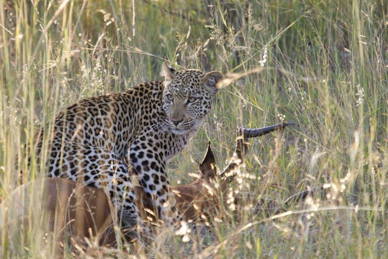 Leopard på bytet - Phabeni port KNP arkivbilder