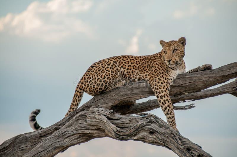 Leopard på ett träd i den Chobe nationalparken arkivfoton