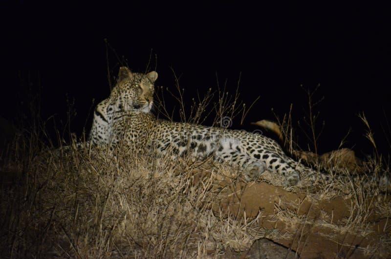 Leopard på natten fotografering för bildbyråer