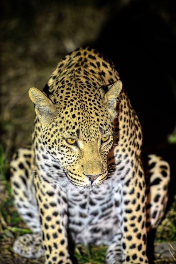 Leopard på nattklockan i Kruger royaltyfri fotografi