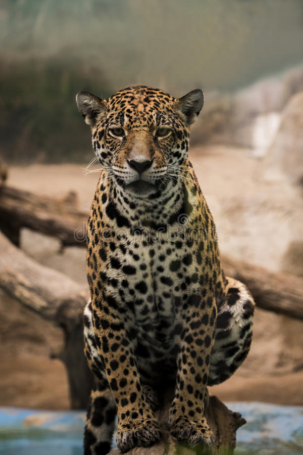 Leopard ,panther looking eyes contact stock images