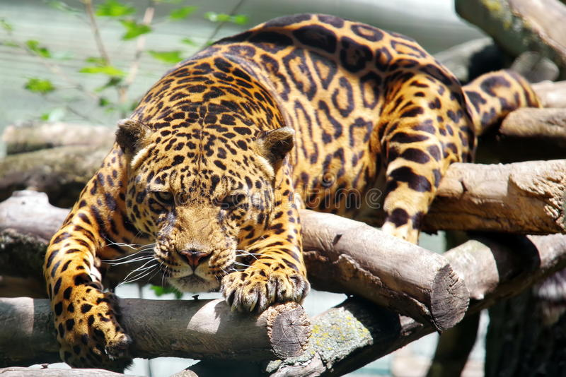 Leopard - Panthera pardus lizenzfreie stockfotos