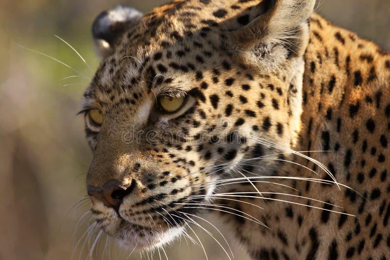 Leopard - Panthera pardus - Botswana royalty free stock photo