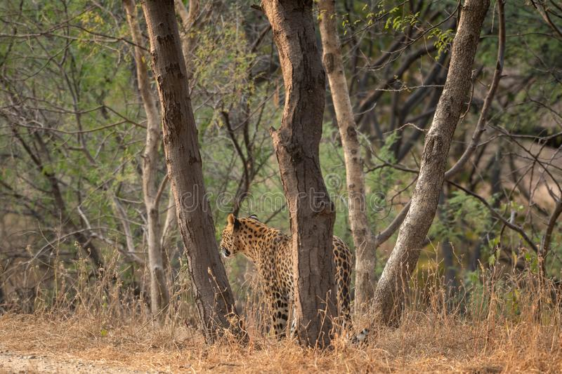 A leopard or Panthera pardus fusca stare in a green background after rainy season over from forest of central india at ranthambore. Tiger reserve, rajasthan royalty free stock photography
