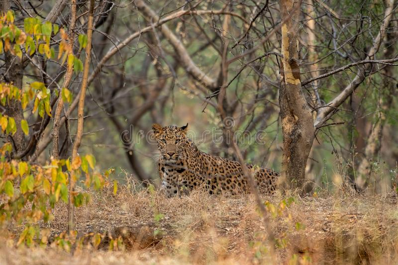 A leopard or Panthera pardus fusca stare in a green background after rainy season over from forest of central india at ranthambore. Tiger reserve, rajasthan royalty free stock photo