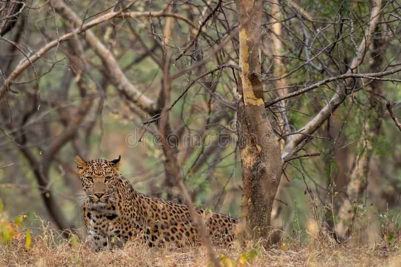 A leopard or Panthera pardus fusca stare in a green background after rainy season over from forest of central india at ranthambore. Tiger reserve, rajasthan royalty free stock photos