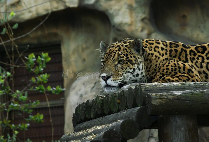 The leopard Panthera pardus - Panthera. stock photography