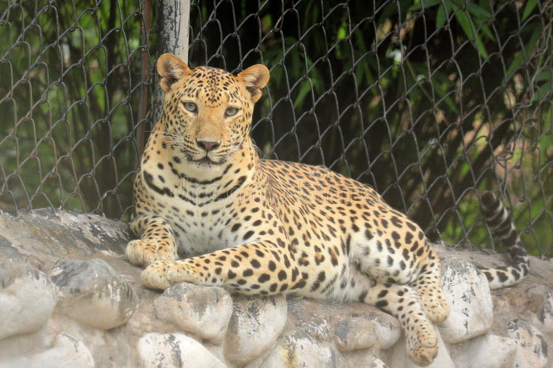 leopard & x28;Panthera Pardus& x29; resting on cage wall portrait stock image