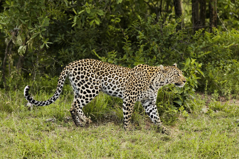 Leopard (Panthera pardus) side view stock images