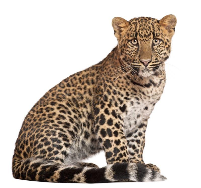 Leopard, Panthera pardus, sitting stock images