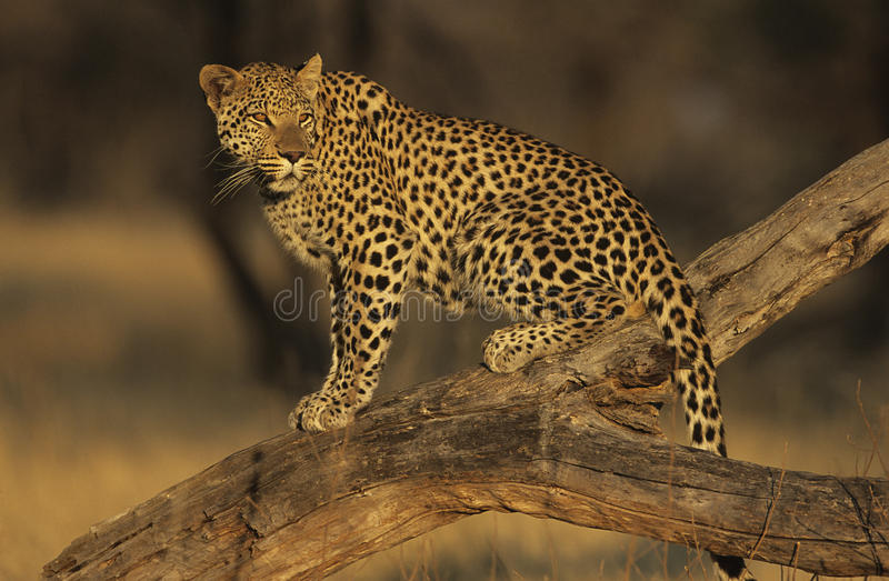 Leopard (Panthera Pardus) standing on branch stock photo
