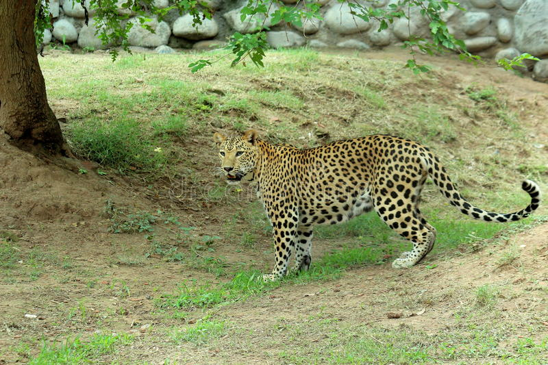 leopard & x28;Panthera Pardus& x29; standing full body portrait in nature stock photo