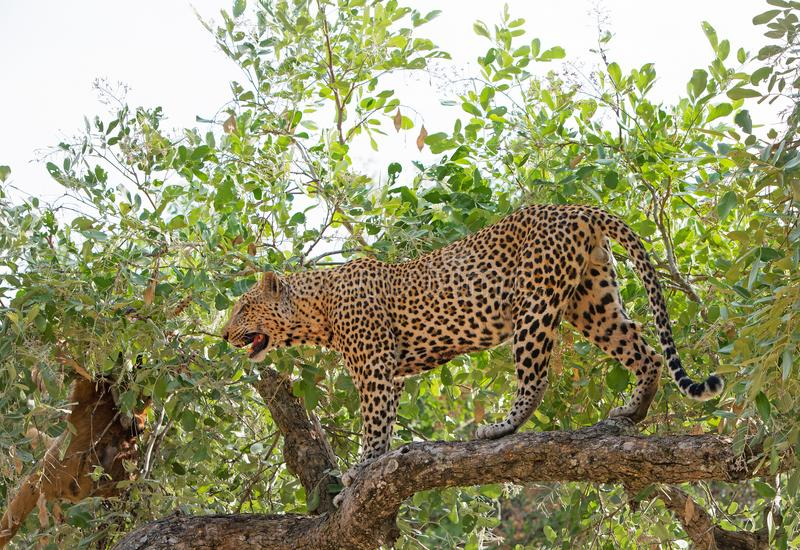 Handsome Male African Leopard standing full frame in a vibrant gree tree in south luangwa national park, zambia, southerm africa stock photography