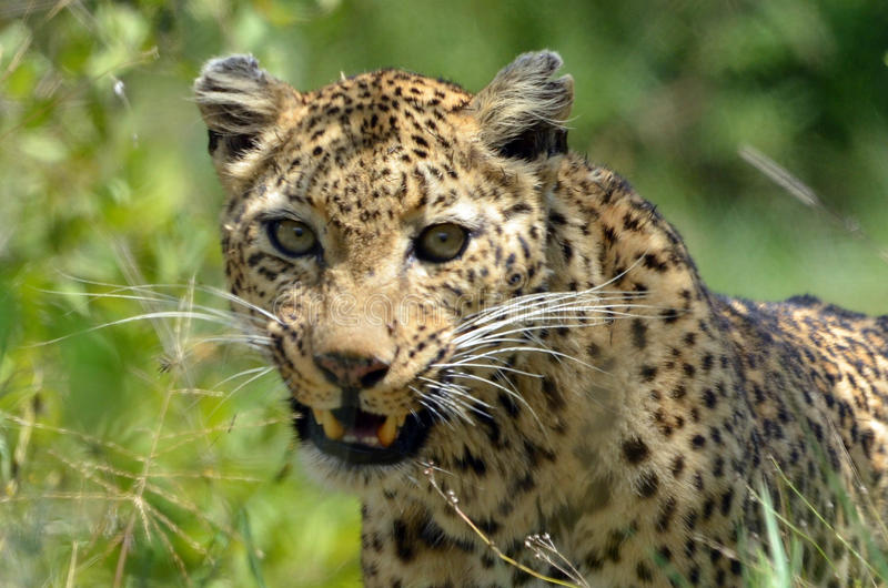 Leopard (Pantherapardus), Kruger Nati royaltyfria foton