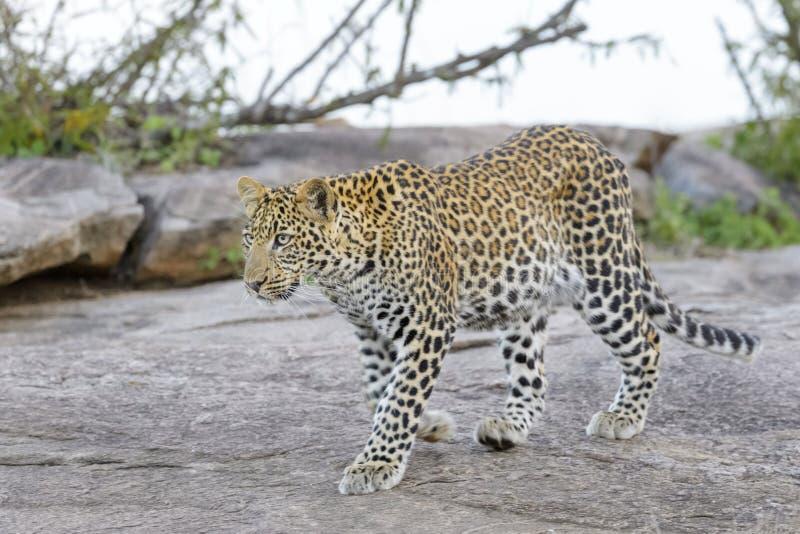 Leopard (Pantherapardus) som går på en vagga royaltyfria bilder