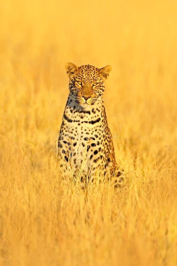 Leopard Pantherapardusshortidgei, dold stående i det trevliga gula gräset Stor lös katt i naturlivsmiljön: Solig dag i th fotografering för bildbyråer