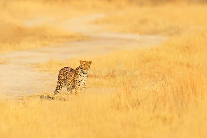 Leopard Pantherapardusshortidgei, dold stående i det trevliga gula gräset Stor lös katt i naturlivsmiljön, Hwange NP, Zimb royaltyfri foto