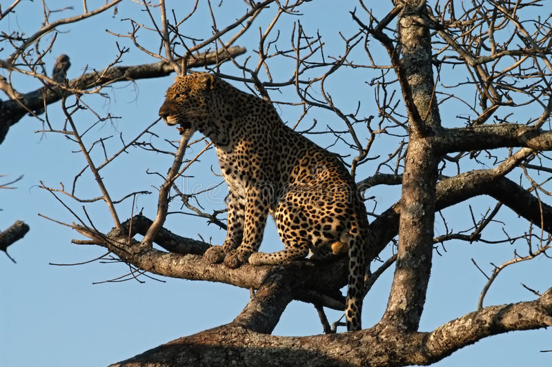 Download Leopard perches in a tree stock image. Image of mammal - 903959