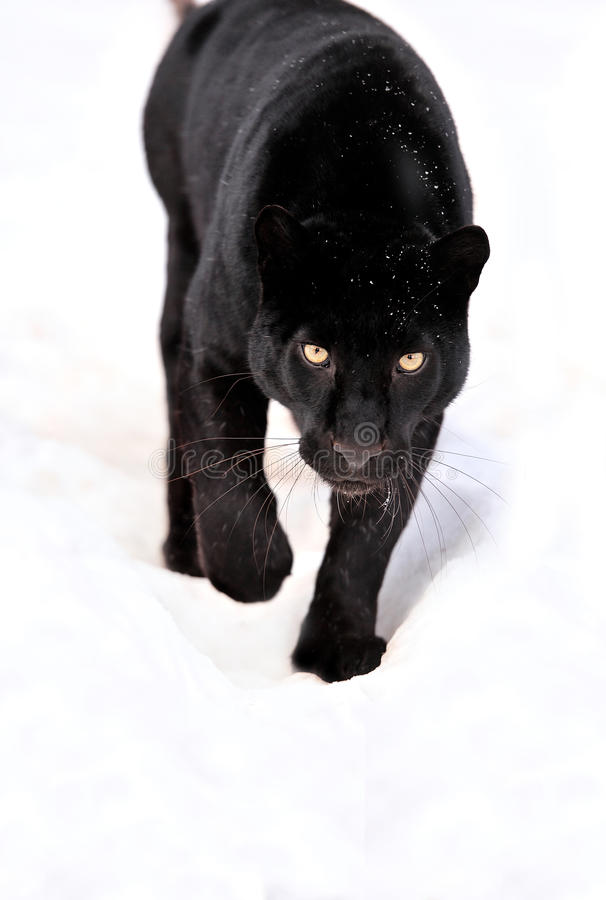 Leopard portrait. Close-up black leopard on snow in motion royalty free stock photo