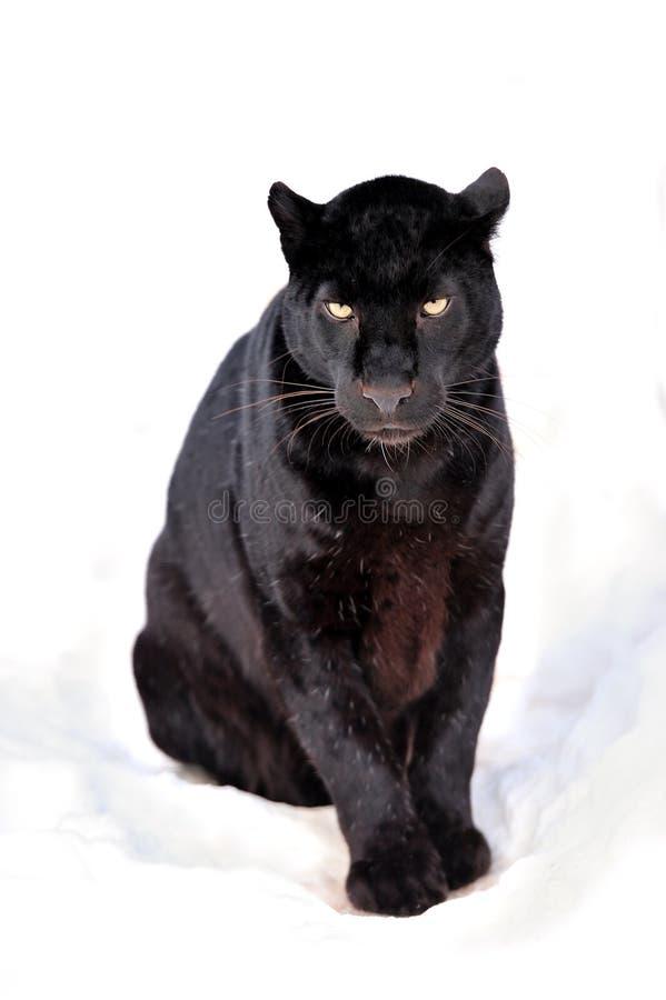 Leopard portrait. Close-up black leopard on snow royalty free stock photography