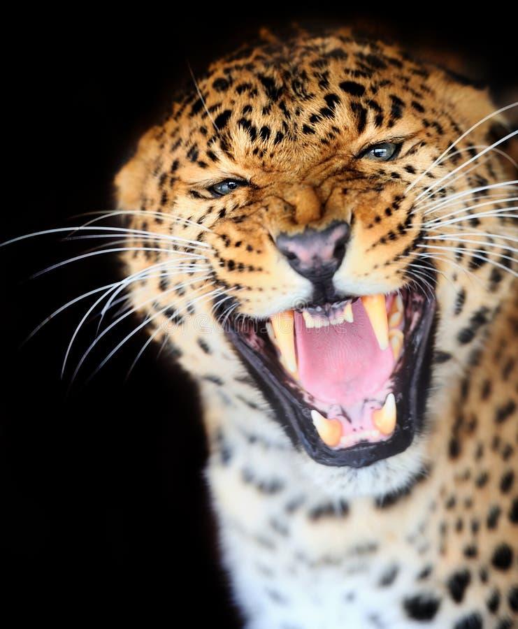 Leopard portrait royalty free stock photo