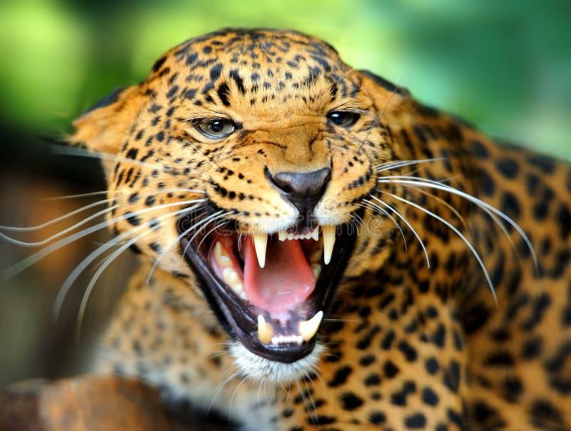 Leopard portrait royalty free stock images