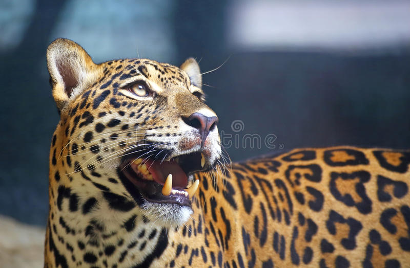 Download Leopard portrait stock image. Image of africa, outdoors - 32235383